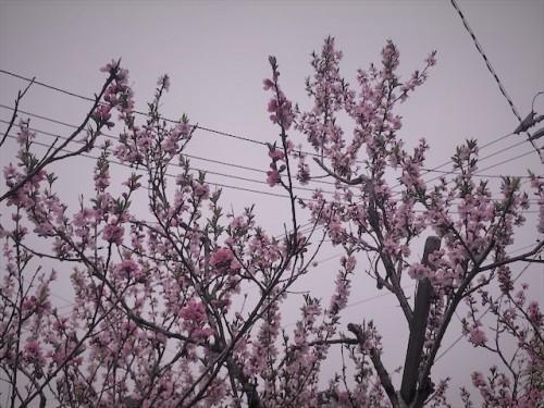 桃の花、毎年実をつけています