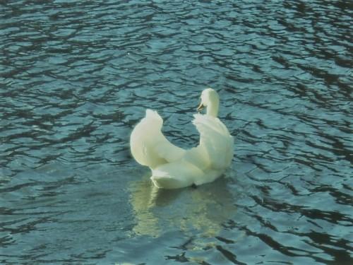 川にも優雅な姿が