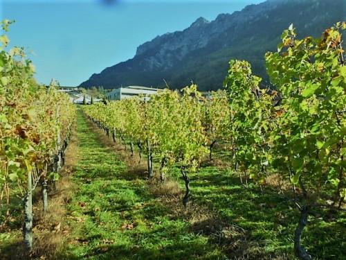 各種のブドウ栽培