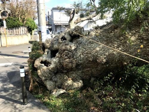 樹齢数百年の樹木も倒れる